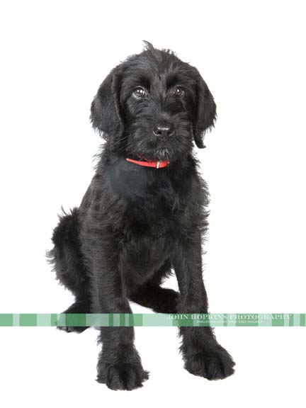 Black dog on white background